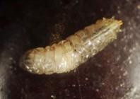 Larva-ll